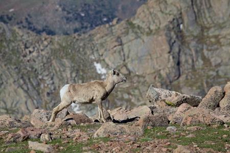 bighorn sheep: Bighorn Sheep Ewe Calling Out