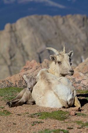 ewe: Bedded Bighorn Ewe and Lamb