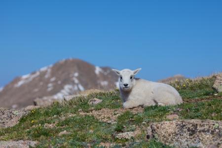 berggeit: Leuke Baby Mountain Goat Stockfoto