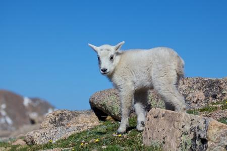 cabra montes: Beb? cabra mont?s