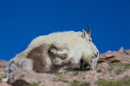 berggeit: Bedded Mountain Goat