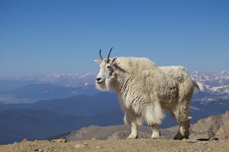 cabra montes: Cabra de monta�a en los Alpes