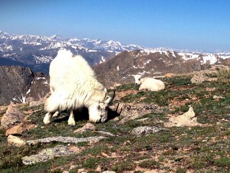 cabra montes: Monta?a cabra y cabrito Foto de archivo