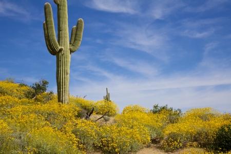 Arizona Desert Wildflowers in Springtime
