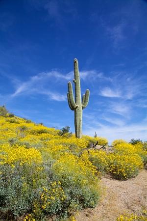 Arizona Desert Wildflowers in Spring Banco de Imagens