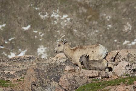 bighorn sheep: Bighorn Sheep Ewe and Lamb Stock Photo