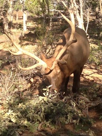 Bull Elk Фото со стока - 21598442