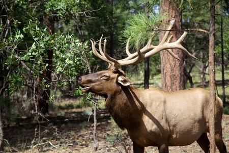 Bull Elk Feeding Фото со стока - 21972314