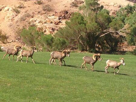 rut: Desert bighorn sheep in rut
