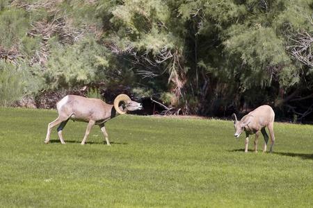 ewe: Desert Bighorn Ram and Ewe