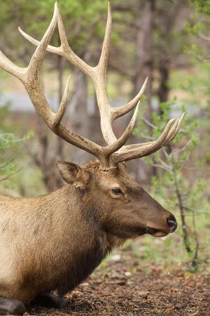 Bull Elk Side Portrait