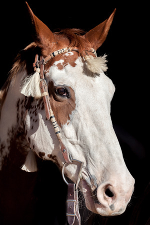 Paint Horse Portrait photo