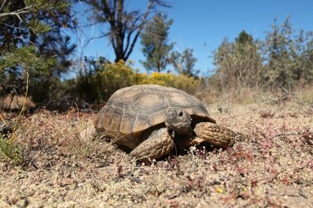 tortuga: Desert Tortoise