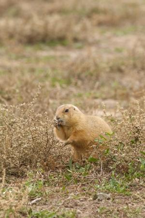 Cute Prairie Dog Reklamní fotografie - 23849803