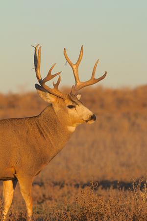 Nice Mule Deer Buck Фото со стока - 23849944