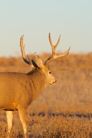 Mule Deer Buck Фото со стока - 23849945