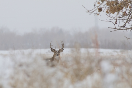 Whitetail Buck in Snow