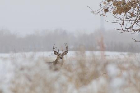 whitetail buck: Whitetail Buck in Snow