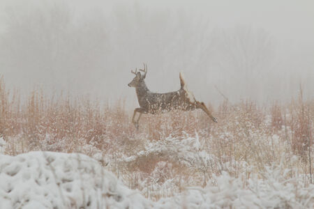 Whitetail Buck Running in Snow photo