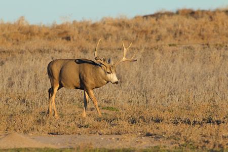 Mule Deer Buck Walking Фото со стока