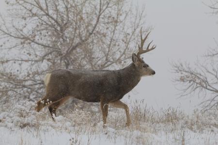 Mule Deer Buck Walking in Snow