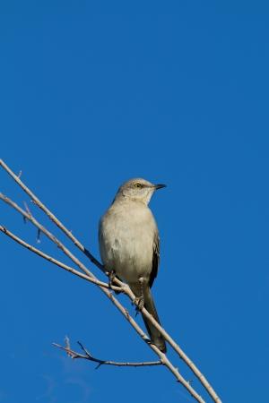 mockingbird: Northern Mockingbird Stock Photo