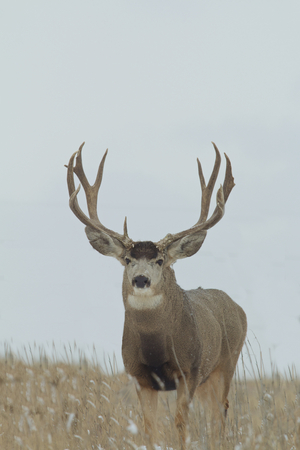 Huge Mule deer Buck photo