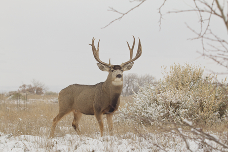mule deer: Big Mule Deer Buck in Snowy Scene