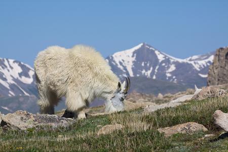 berggeit: Mountain Goat Grazing