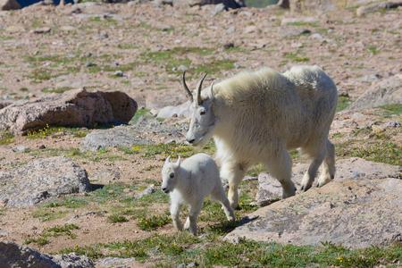 cabra montes: Monta�a cabra y cabrito