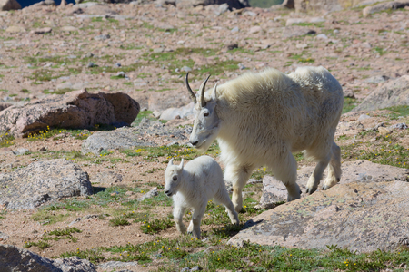 berggeit: Mountain Goat Nanny en Kid Stockfoto