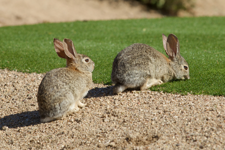 Desert Cottontail Rabbits photo