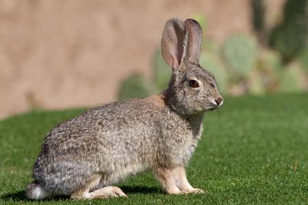 Alert Desert Cottontail Rabbit