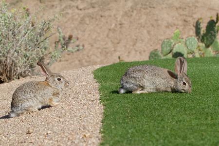 Desert Cottontails Rabbits