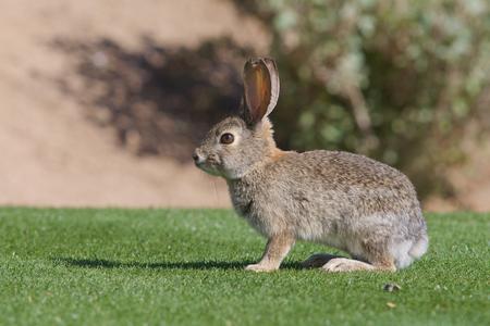 Desert Cottontail rabbit on Green Grass