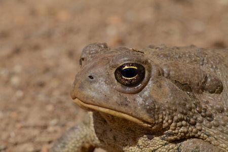 ヒキガエルの目 写真素材