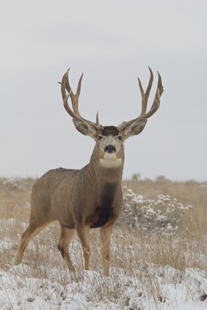Mule Deer Buck Head On in Snow photo