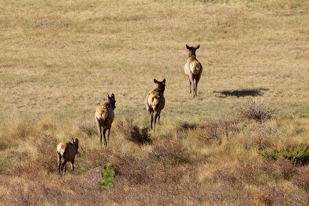 Cow Elk Crossing Meadow