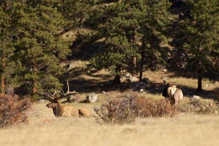 rut: Elk in Rut Stock Photo