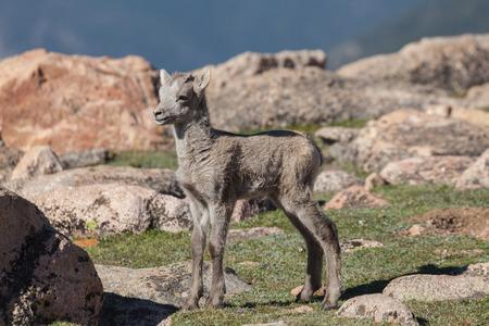 borrego cimarron: Bighorn Sheep Lamb