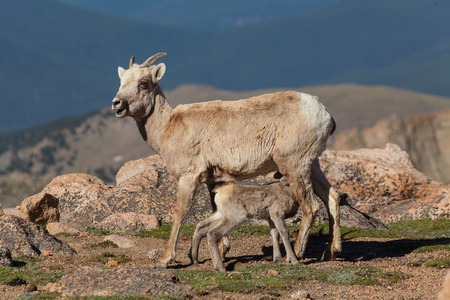 bighorn sheep: Bighorn Sheep Lamb Infermieristica