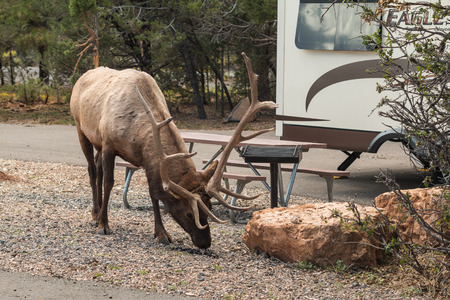 campground: Bull Elk in Campground