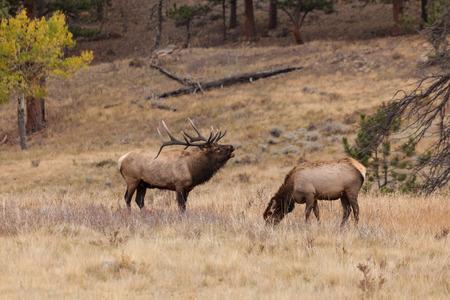 rutting: Rutting Bull Elk Bugling at Cow