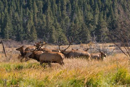 rutting: Rutting Elk Herd