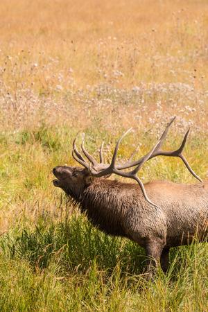 Bull Elk Bugling Фото со стока - 33141480