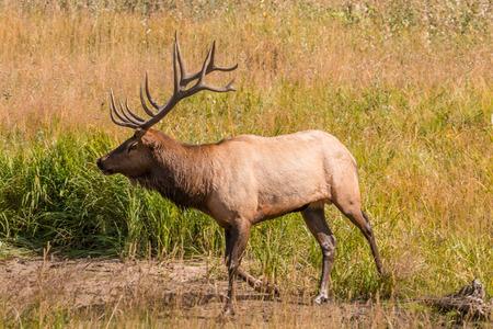 Bull Elk Фото со стока
