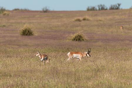 rut: Pronghorn Antelope in Rut