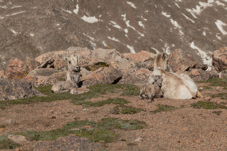 borrego cimarron: Oveja Ovejas de Bighorn y Cordero