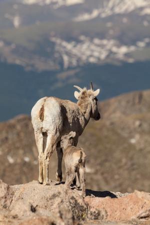 bighorn sheep: Bighorn Ewe Pecora e agnello