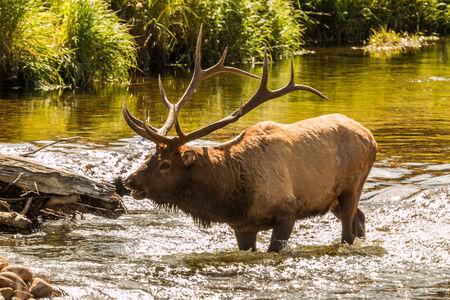 rut: Rutting Bull Elk in Stream